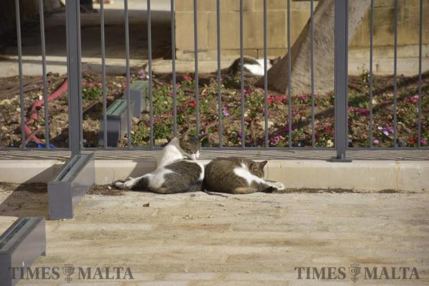 Cats lay in the sun in Valletta on January 3. Photo: Mark Zammit Cordina
