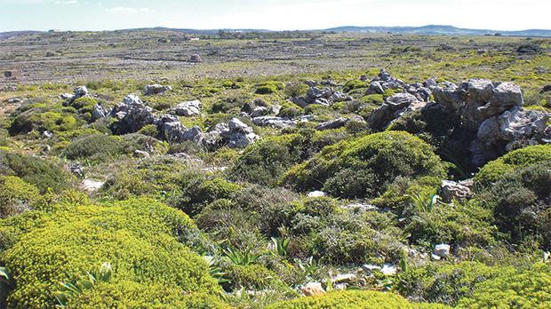 Garigue habitat with Maltese spurge, Tengħud tax-Xagħri, in flower. Photo: Darren Saliba