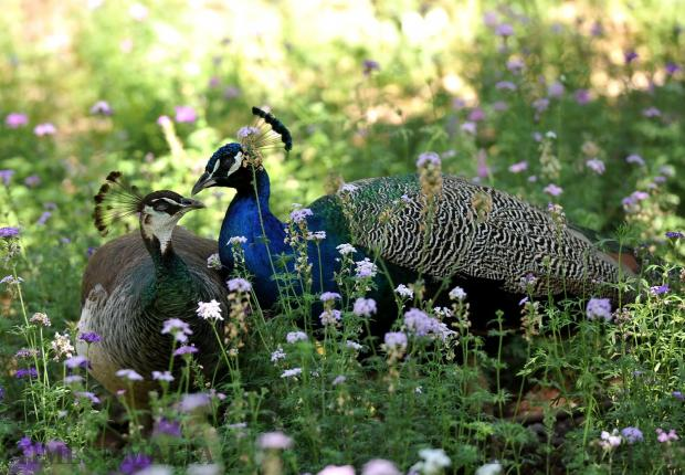 Two peacocks share an intimate moment at San Anton Gardens on May 22. Photo: Chris Sant Fournier