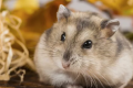 Obesity: hamsters may hold the clue to beating it