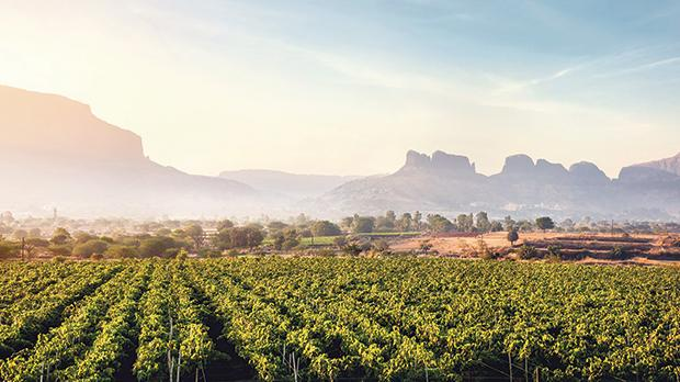 Vineyard at sunrise in the village and mountains in Nasik, Maharashtra, India. Photos: Shutterstock