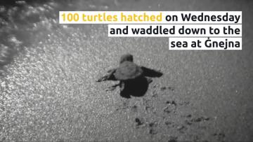 Watch: 100 turtles hatch at Ġnejna, right on cue | Video: Sarah Carabott