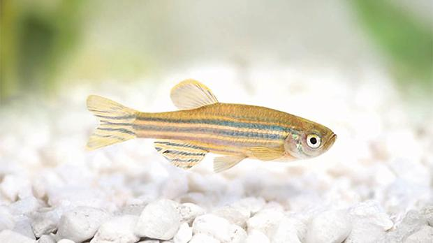 Tiny fish, big research potential: zebrafish (Danio rerio) share 75 per cent of their genome with humans. Zebrafish were also among the first vertebrates to be cloned (frogs were cloned decades earlier). Photo: Rosenau/Shutterstock.com