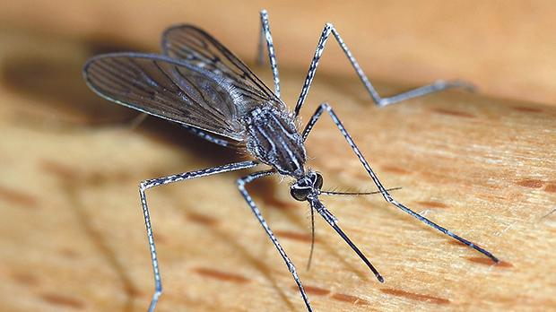 A study that was awarded the Biology Ig Nobel in 2006 concluded that a particular mosquito which can transmit malaria is equally attracted to the smell of human feet and Limburger cheese.