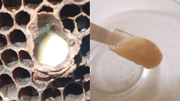 On the left, a queen larva surrounded by royal jelly (RJ). On the right, locally extracted RJ.