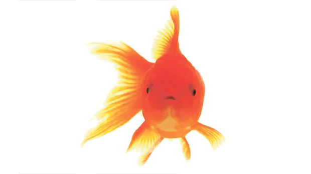Image result for memory of a Goldfish