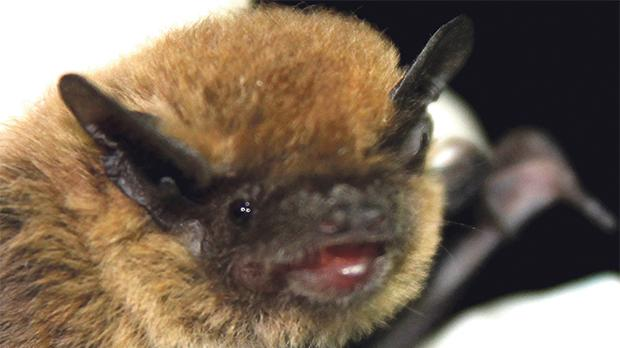 Pipistrelle bats are the smallest bat species of the Maltese islands.