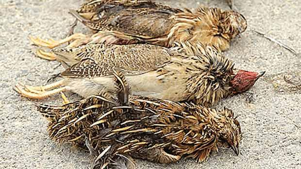 Police confiscated these four quails after a hunter had illegally shot all of them in one morning. Photo by Lars Soerink/www.vildaphoto.net