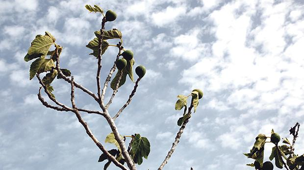 As the number of trees falls, farmers fear that figs could disappear altogether.