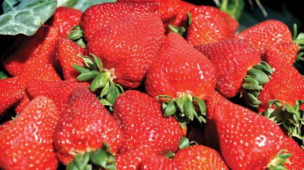Thousands of strawberries from Mġarr will be sold on April 14 during the highly popular Strawberry Fest, known as Festa Frawli.