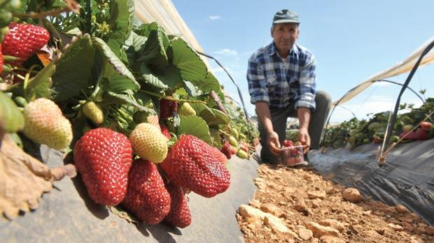 A bunch of strawberries are clustered in a field in Mġarr as farmers started harvesting thousands of the juicy, tasty fruits to be packed and sold. Photo: Matthew Mirabelli