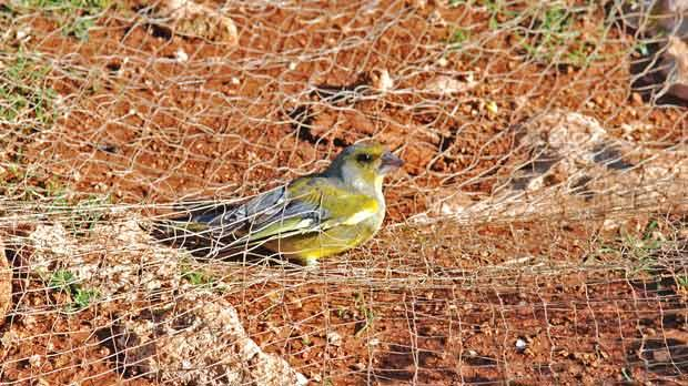 A trapped greenfinch under the nets. Photo: Natalino Fenech