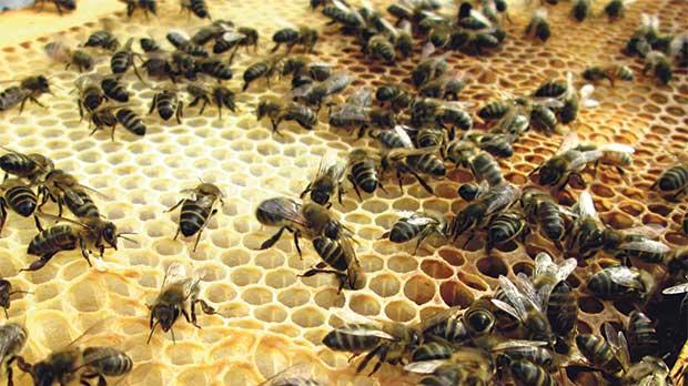 European experts are in Malta this week to discuss ways to protect endemic bees. Photo: Sheryl Sammut