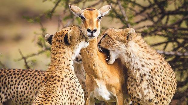 The impala stares defiantly down the camera lens. Inset: Maltese wildlife photographer Alison Buttigieg.
