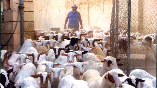 The Veterinary Department said all the unregistered sheep in Gianni Attard and Emmanuel Vella's flock were automatically presumed to be sick and therefore a public health hazard.