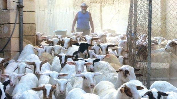 The Veterinary Department has been stopped from culling 300 unregistered sheep.