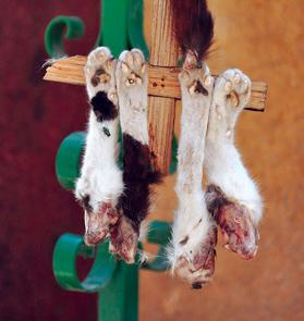 Four of the eight paws and a tail that were found nailed to two crosses hanging from the statue of St Mary in Britannia Square, Mosta, earlier this month. Photo: Chris Sant Fournier