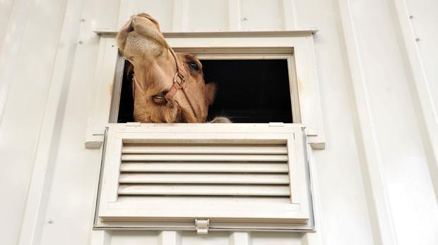 A camel was among the circus animals that were placed on a Floriana street in pens yesterday. Photo: Chris Sant Fournier