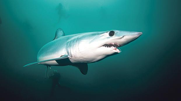 Mako shark, a protected species, is sometimes passed off as swordfish by supermarkets and restaurants. Photo: Shutterstock