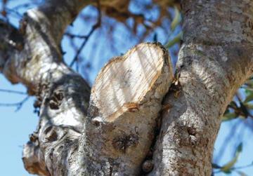 One of the pruned trees. Photo: Darrin Zammit Lupi