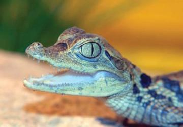 9022408821c Malta auction website offers baby croc for sale