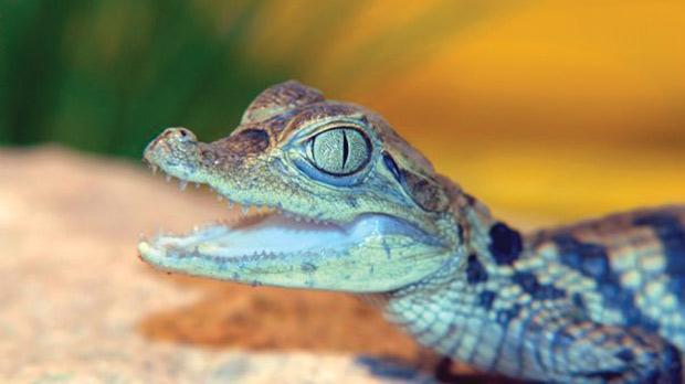 malta auction website offers baby croc for sale