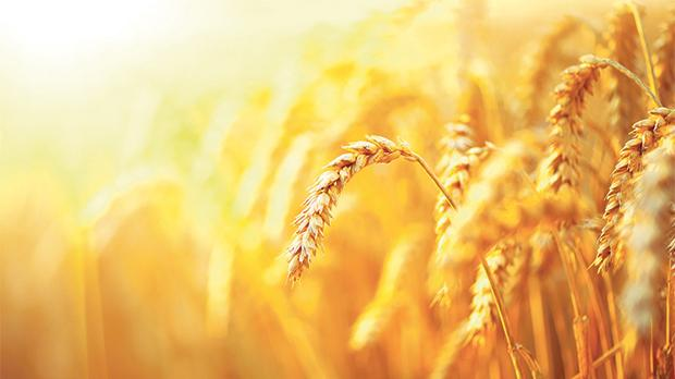 The higher the concentration of CO2 in the atmosphere, the lower the nutritional content of crops like wheat. Photo: Shutterstock.com