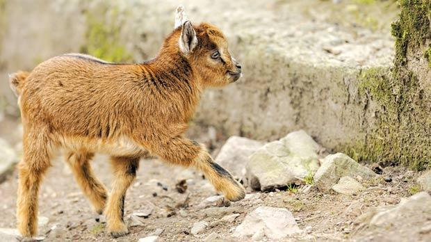 A pygmy goat's life was saved by a Caesarean section.