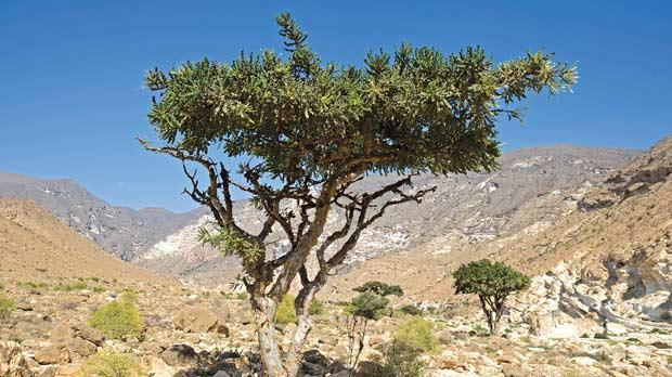 Frankincense Tree Images Frankincense Tree in The