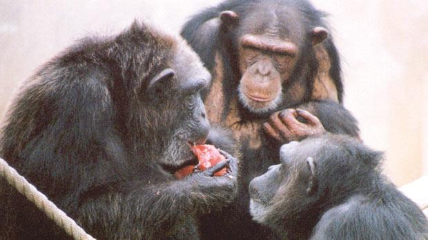 Two adult females apes looking at a third eating food. Photo: PA Wire