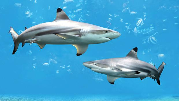 Blacktip reef sharks swimming in tropical waters over coral reef.