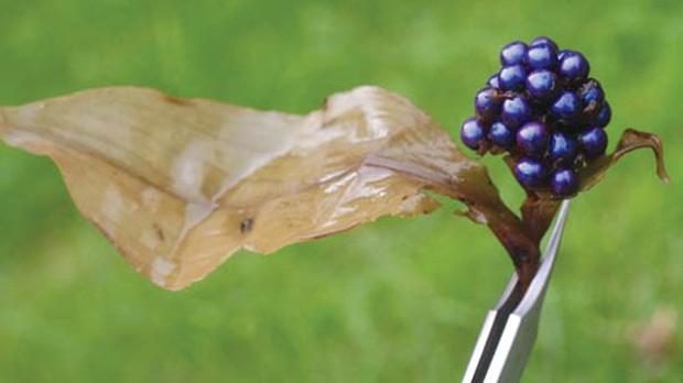 The Pollia condensata plant.