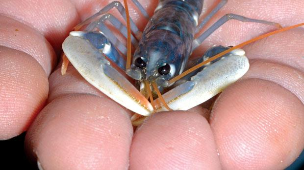 The European lobster (Hommarus gammarus) is delicately bred on the German island of Heligoland, about 46 kilometres away from the German coastline. Biologists at the Alfred-Wegener Institute for Polar and Marine Research are breeding 3,000 lobsters to be released next year into the Borkum Riffgat offshore wind farm near the island, 70 kilometres off the German-Dutch coast.