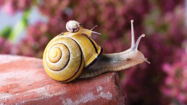 fast snails cover one metre in an hour